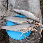 Polyarny_Ural_spearfishing_Boris_Nizov_166
