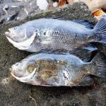 Boris_Nizov_spearfishing_Bali_roompons_122