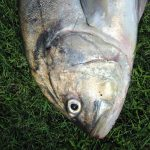 Boris_Nizov_spearfishing_Bali_roompons_325