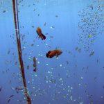Boris_Nizov_spearfishing_Bali_roompons_326
